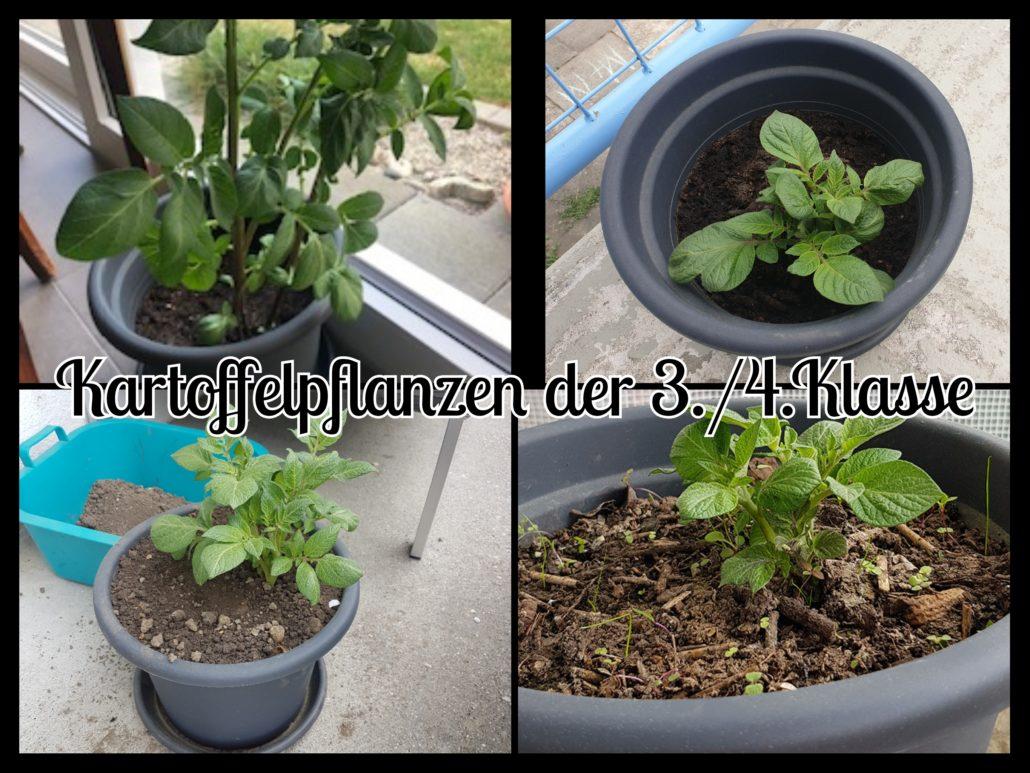 Kartoffelpflanzen der 3./4.Klasse